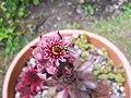 Sempervivum Flower and hoverfly (4842906021).jpg