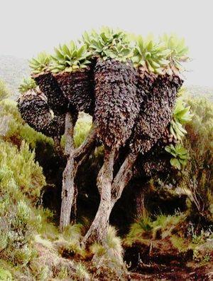 Dendrosenecio - Dendrosenecio kilimanjari