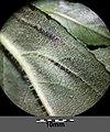 Senecio nemorensis subsp. jacquinianus sl14.jpg