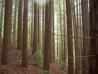 Sequoiascorona.JPG