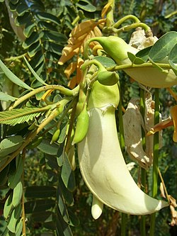 Sesbania Flower.jpg