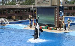 """Kasatka performing """"The Shamu Adventure"""". The stage at Shamu Stadium has since been redesigned to accommodate the new """"Believe"""" show. (July 5, 2004)"""