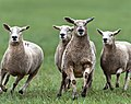 Sheepdog Trials in California - 7299272862.jpg