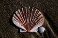 Shells (8107762857).jpg