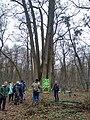 Shestystovburne oak tree4.jpg