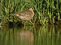 Short-billed Dowitcher (1 of 12), Caledonia Sewage Ponds, May 10, 2012 (7172086228).jpg