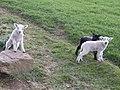 Show-off lambs - geograph.org.uk - 408846.jpg
