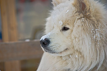This is Shuskey the samoyed that lives in spor...