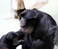 Siamang inflated throat pouch.jpg