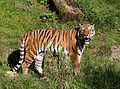 Sibirischer Tiger Panthera tigris altaica Tierpark Hellabrunn-4.jpg