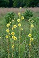 Silphium laciniatum Arkansas.jpg