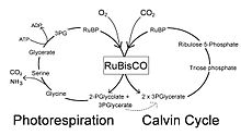 photorespiration wikipedia : photorespiration diagram - findchart.co