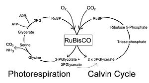 Photorespiration - Simplified photorespiration and Calvin cycle