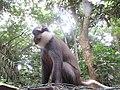 Singe à ventre rouge du sanctuaire ses singes de Drabo à Abomey-Calavi (Bénin).jpg