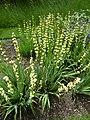 Sisyrinchium striatum (Iridaceae) plant.JPG
