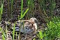 Skrattmås Black-headed Gull (14796669690).jpg