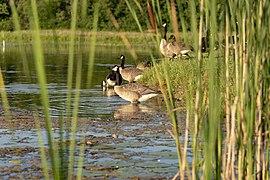 Slate Run - Canada Geese Through Cattails 1.jpg