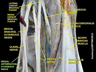 Medial cutaneous nerve of forearm - Image: Slide 5zzz