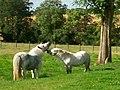 Small Ponies. - geograph.org.uk - 552252.jpg