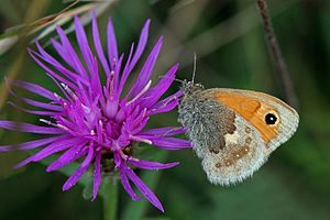 Centaurea nigra - small heath butterfly on knapweed