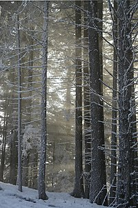 Snow and light in the forest.jpg