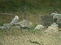 Snowy owl (Bubo scandiacus) - geograph.org.uk - 1036125.jpg