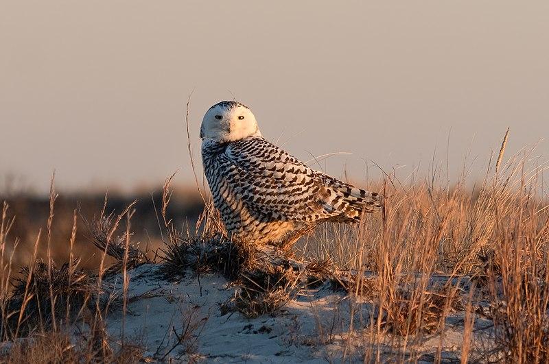 File:Snowy owl at Jones Beach (04863).jpg