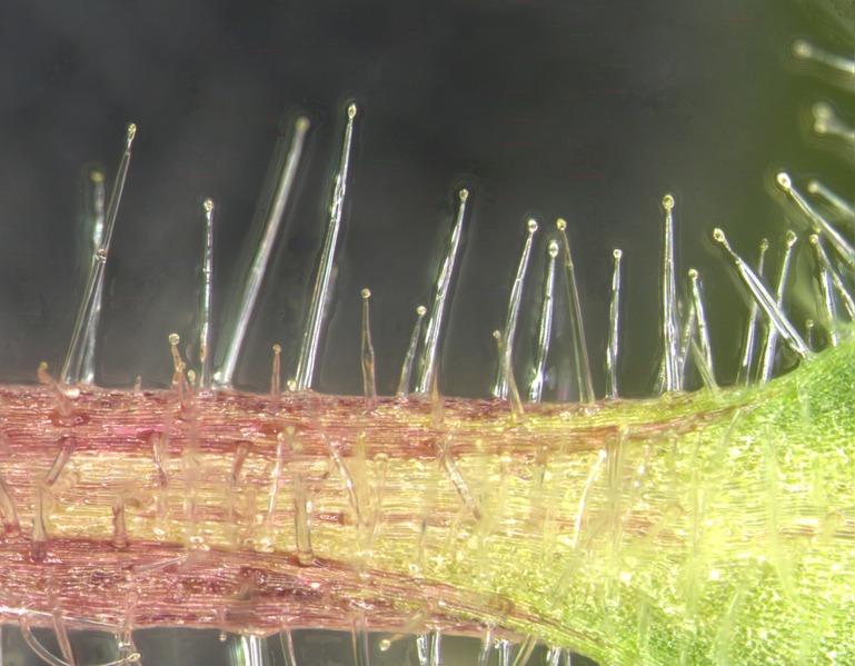 File:Solanum quitoense petiole trichomes.tif