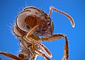 Solenopsis invicta - fire ant worker.jpg