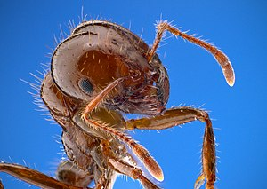 Insect morphology - Closeup of a fire ant, showing fine sensory hairs on antennae