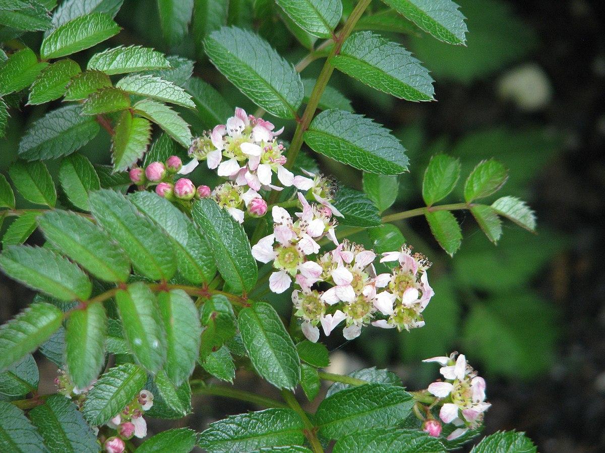 sorbus poteriifolia