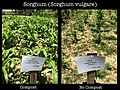 Sorghum experiments at the SOIL farm. (15972102674).jpg