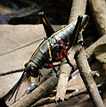 Southeastern Lubber Grasshopper - (Romalea microptera) (38664887256).jpg
