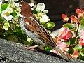 Sparrow in Bellagio (2792345790).jpg