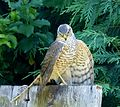 Sparrowhawk catches Blackbird - Flickr - gailhampshire (2).jpg