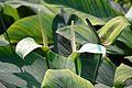 Spathiphyllum - Alipore - Kolkata 2013-02-10 4654.JPG