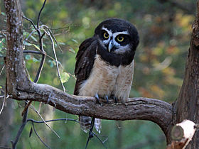 Spectacled Owl RWD3.jpg