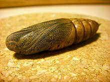 A golden coloured pupa on a flat surface with fine details visible.