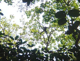 Extractive reserve - Spider monkey in the  Lower Rio Branco-Rio Jauaperi Extractive Reserve