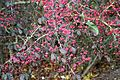 Spindle tree (Euonymus) - geograph.org.uk - 1554093.jpg