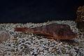 Spiny Red Gurnard (Chelidonichthys spinosus) (15444526535).jpg