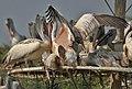 Spot-billed Pelican (Pelecanus philippensis) mating in Uppalapadu, AP W IMG 5119.jpg