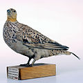 Spotted Sandgrouse.jpeg