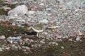 Spotted Sandpiper (9317176136).jpg