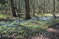 Spring anemones in the Doorwerth forest. Lovely - panoramio.jpg