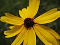 St. Marks National Wildlife Refuge Tick Seed (5327601403).jpg