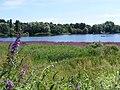 St Margarets Purple Loosetrife - 35861765682.jpg