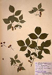 Staphylea trifolia BW-1966-0529-0328.jpg
