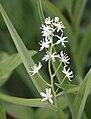 Star-flowered SolomonSeal Maianthemum stellatum close.jpg