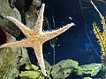 Starfish, Georgia Aquarium, Atlanta.jpg